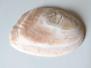 真珠が付いた貝(外側)